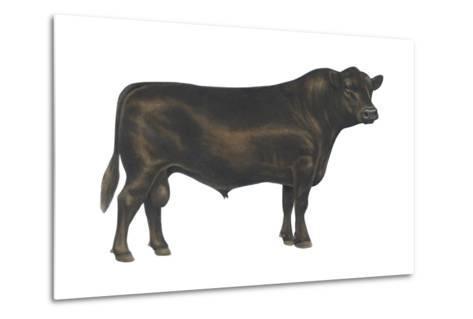 Angus Bull, Beef Cattle, Mammals-Encyclopaedia Britannica-Metal Print