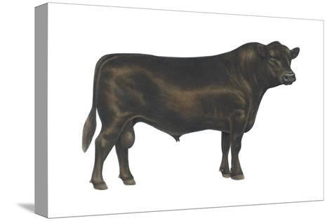 Angus Bull, Beef Cattle, Mammals-Encyclopaedia Britannica-Stretched Canvas Print