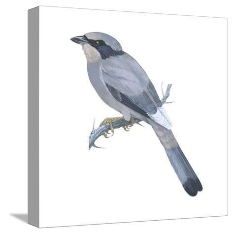Hypocoly (Hypocolius Ampelinus), Birds-Encyclopaedia Britannica-Stretched Canvas Print