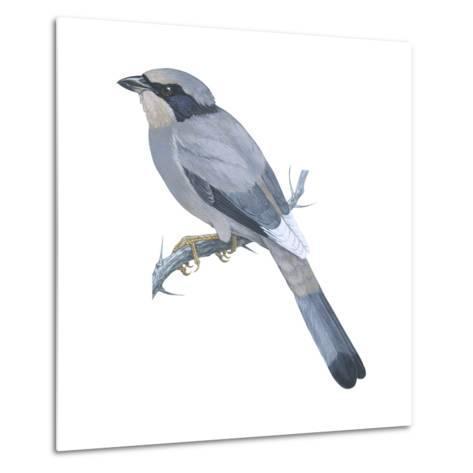 Hypocoly (Hypocolius Ampelinus), Birds-Encyclopaedia Britannica-Metal Print