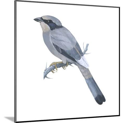 Hypocoly (Hypocolius Ampelinus), Birds-Encyclopaedia Britannica-Mounted Art Print