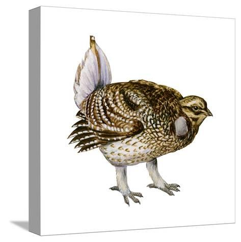 Sharp-Tailed Grouse (Tympanuchus Phasianellus), Birds-Encyclopaedia Britannica-Stretched Canvas Print