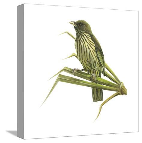 Palm-Chat (Dulus Dominicus), Birds-Encyclopaedia Britannica-Stretched Canvas Print