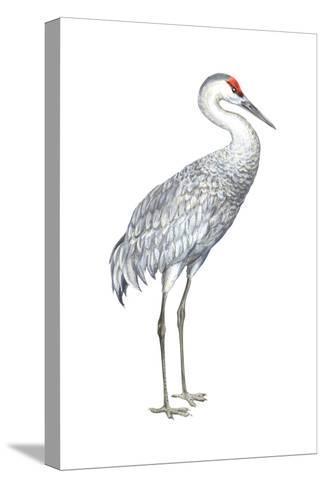 Sandhill Crane (Grus Canadensis), Birds-Encyclopaedia Britannica-Stretched Canvas Print