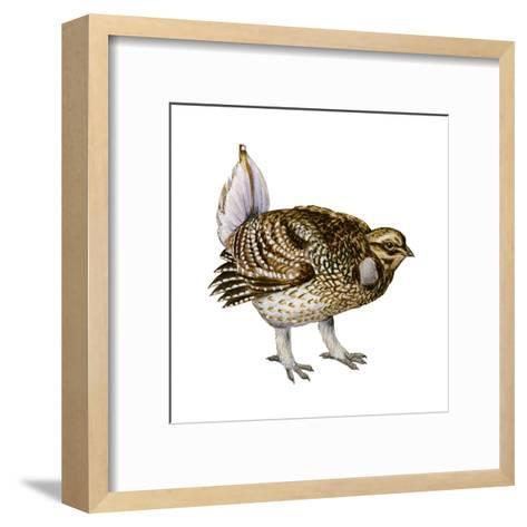 Sharp-Tailed Grouse (Tympanuchus Phasianellus), Birds-Encyclopaedia Britannica-Framed Art Print