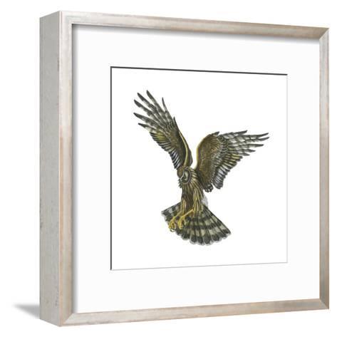 Marsh Hawk (Circus Cyaneus), Birds-Encyclopaedia Britannica-Framed Art Print