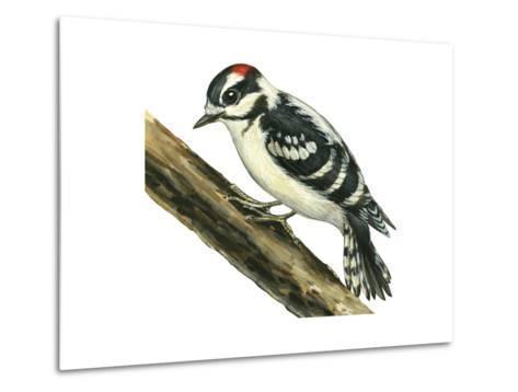 Downy Woodpecker (Dendrocopus Pubescens), Birds-Encyclopaedia Britannica-Metal Print