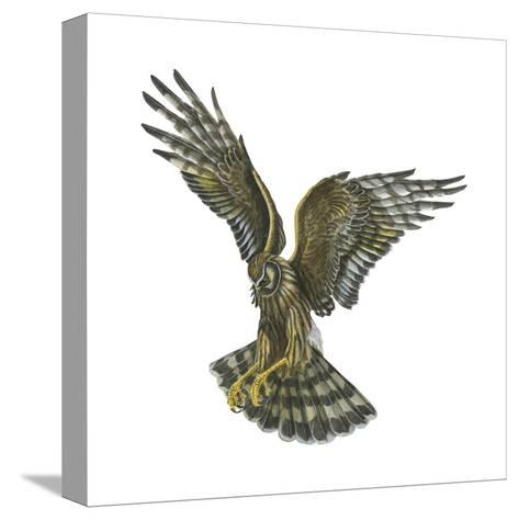 Marsh Hawk (Circus Cyaneus), Birds-Encyclopaedia Britannica-Stretched Canvas Print