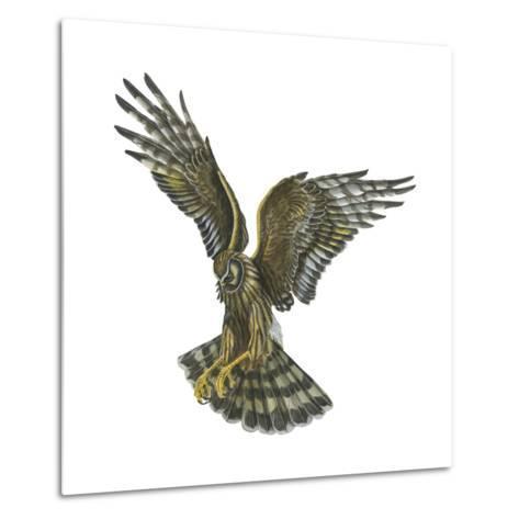 Marsh Hawk (Circus Cyaneus), Birds-Encyclopaedia Britannica-Metal Print