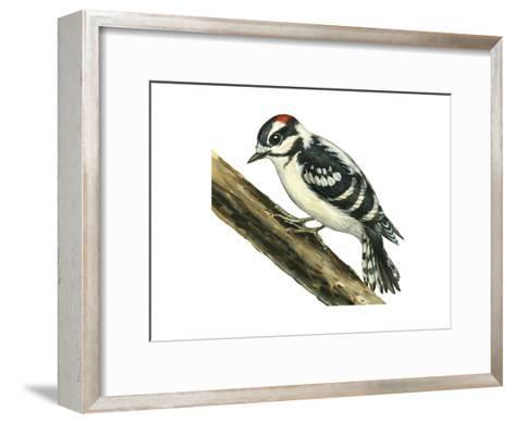 Downy Woodpecker (Dendrocopus Pubescens), Birds-Encyclopaedia Britannica-Framed Art Print