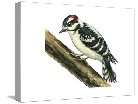 Downy Woodpecker (Dendrocopus Pubescens), Birds-Encyclopaedia Britannica-Stretched Canvas Print