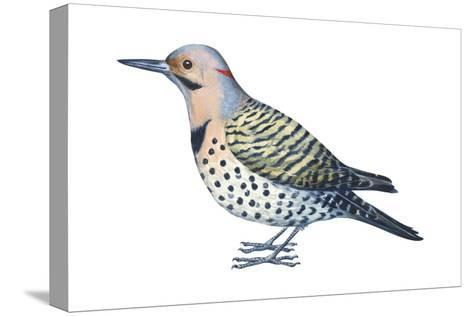 Yellow-Shafted Flicker (Colaptes Auratus), Birds-Encyclopaedia Britannica-Stretched Canvas Print