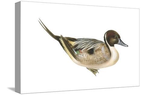 Northern Pintail (Anas Acuta), Duck, Birds-Encyclopaedia Britannica-Stretched Canvas Print