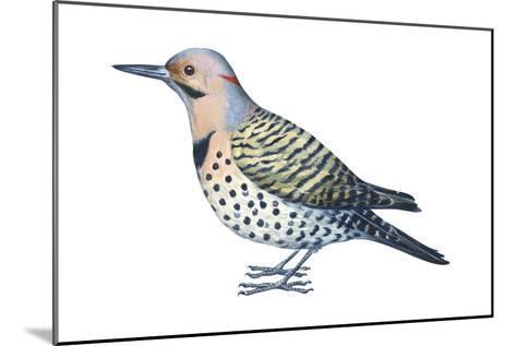 Yellow-Shafted Flicker (Colaptes Auratus), Birds-Encyclopaedia Britannica-Mounted Art Print
