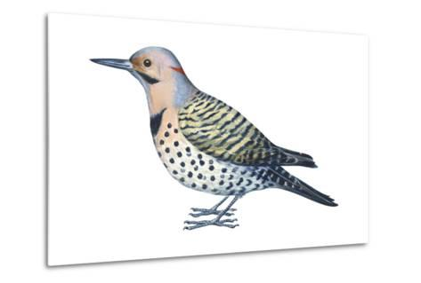 Yellow-Shafted Flicker (Colaptes Auratus), Birds-Encyclopaedia Britannica-Metal Print