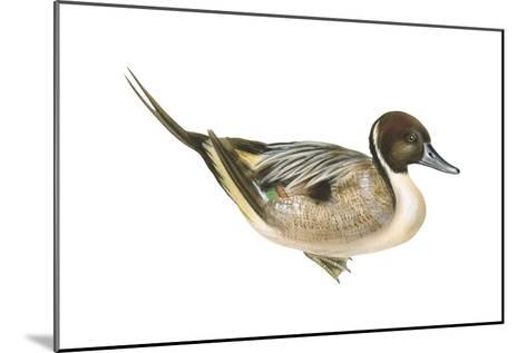 Northern Pintail (Anas Acuta), Duck, Birds-Encyclopaedia Britannica-Mounted Art Print