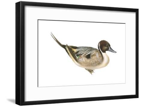 Northern Pintail (Anas Acuta), Duck, Birds-Encyclopaedia Britannica-Framed Art Print
