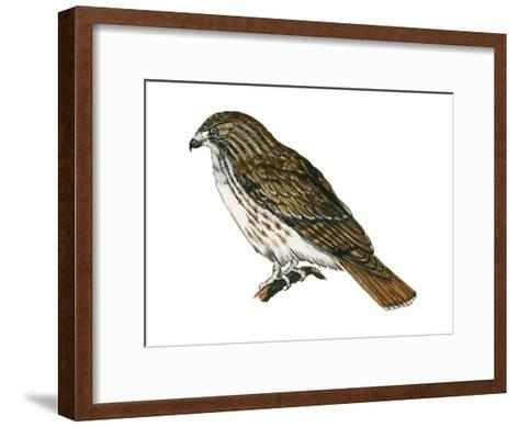 Red-Tailed Hawk (Buteo Jamaicensis), Birds-Encyclopaedia Britannica-Framed Art Print