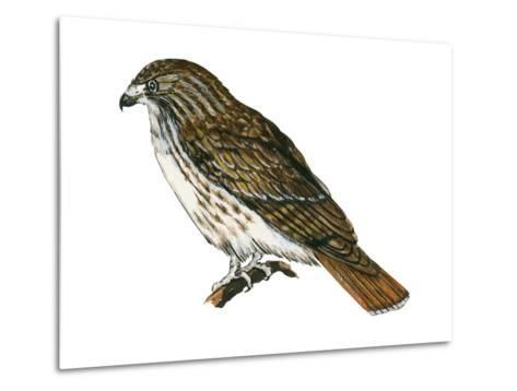 Red-Tailed Hawk (Buteo Jamaicensis), Birds-Encyclopaedia Britannica-Metal Print