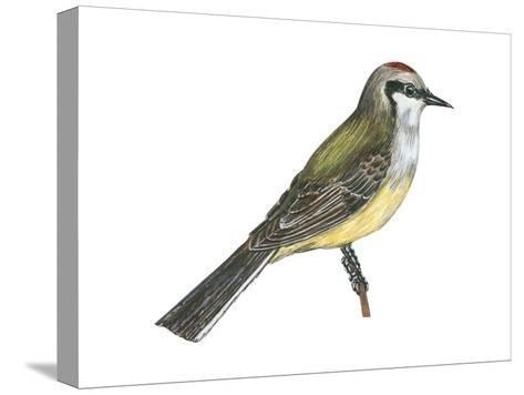 Western Kingbird (Tyrannus Verticalis), Birds-Encyclopaedia Britannica-Stretched Canvas Print