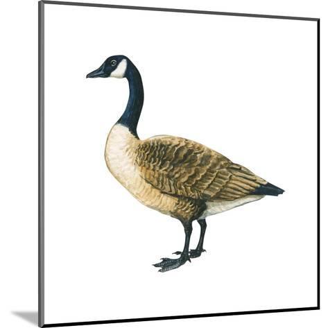 Canada Goose (Branta Canadensis), Birds-Encyclopaedia Britannica-Mounted Art Print