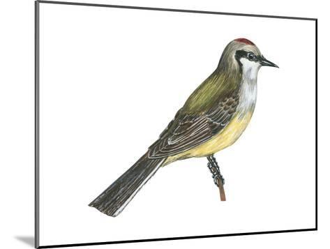 Western Kingbird (Tyrannus Verticalis), Birds-Encyclopaedia Britannica-Mounted Art Print
