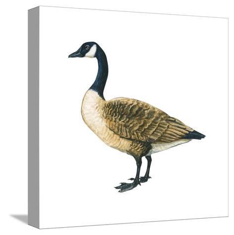 Canada Goose (Branta Canadensis), Birds-Encyclopaedia Britannica-Stretched Canvas Print