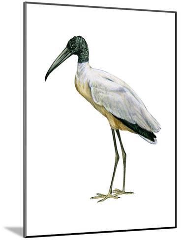Wood Ibis (Mycteria Americana), Birds-Encyclopaedia Britannica-Mounted Art Print