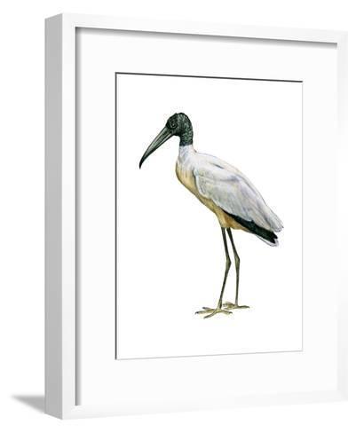 Wood Ibis (Mycteria Americana), Birds-Encyclopaedia Britannica-Framed Art Print