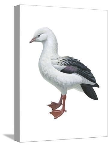 Andean Goose (Chloephaga Melanoptera), Birds-Encyclopaedia Britannica-Stretched Canvas Print