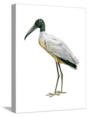 Wood Ibis (Mycteria Americana), Birds-Encyclopaedia Britannica-Stretched Canvas Print