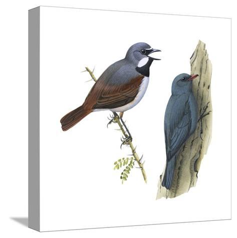 (Left) Red-Tailed Vanga-Shrike (Calicalicus Madagascariensis)-Encyclopaedia Britannica-Stretched Canvas Print
