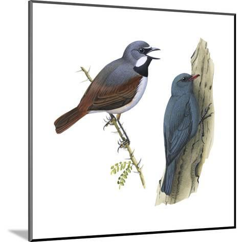 (Left) Red-Tailed Vanga-Shrike (Calicalicus Madagascariensis)-Encyclopaedia Britannica-Mounted Art Print