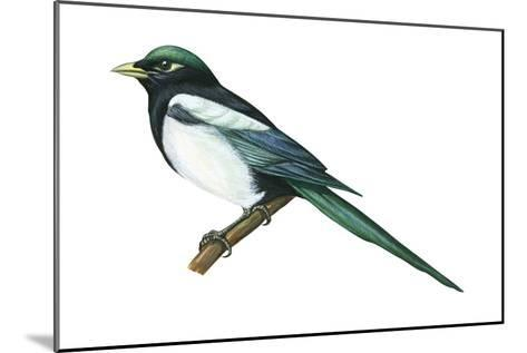 Yellow-Billed Magpie (Pica Nutalli), Birds-Encyclopaedia Britannica-Mounted Art Print