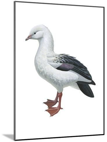 Andean Goose (Chloephaga Melanoptera), Birds-Encyclopaedia Britannica-Mounted Art Print