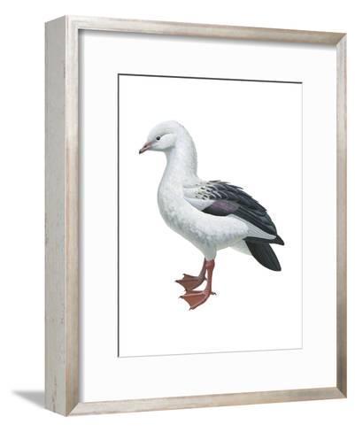 Andean Goose (Chloephaga Melanoptera), Birds-Encyclopaedia Britannica-Framed Art Print