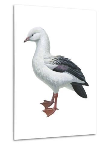 Andean Goose (Chloephaga Melanoptera), Birds-Encyclopaedia Britannica-Metal Print