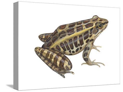 Pickerel Frog (Rana Palustris), Amphibians-Encyclopaedia Britannica-Stretched Canvas Print