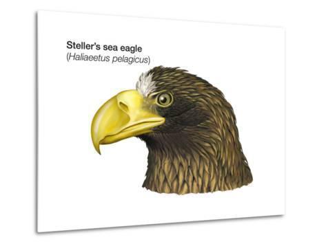 Head of Steller's Sea Eagle (Haliaeetus Pelagicus), Birds-Encyclopaedia Britannica-Metal Print
