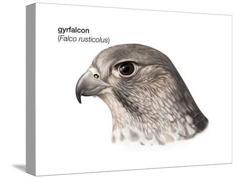 Head of Gyrfalcon (Falco Rusticolus), Birds-Encyclopaedia Britannica-Stretched Canvas Print