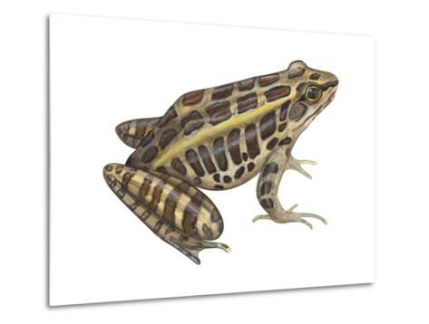 Pickerel Frog (Rana Palustris), Amphibians-Encyclopaedia Britannica-Metal Print