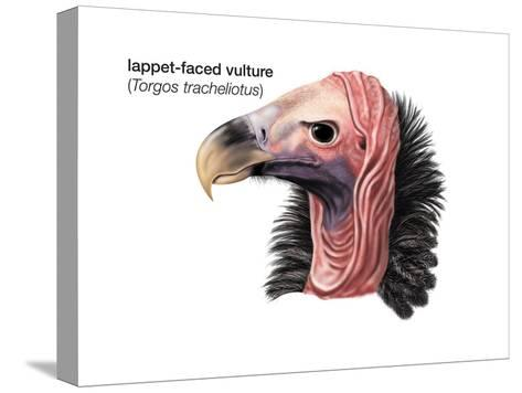 Head of Lappet-Faced Vulture (Torgos Tracheliotus), Birds-Encyclopaedia Britannica-Stretched Canvas Print