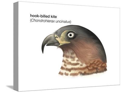 Head of Hook-Billed Kite (Chondrohierax Uncinatus), Birds-Encyclopaedia Britannica-Stretched Canvas Print