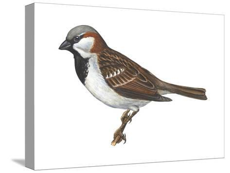 House or English Sparrow (Passer Domesticus), Birds-Encyclopaedia Britannica-Stretched Canvas Print
