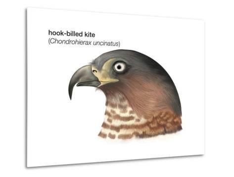 Head of Hook-Billed Kite (Chondrohierax Uncinatus), Birds-Encyclopaedia Britannica-Metal Print