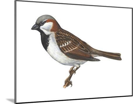 House or English Sparrow (Passer Domesticus), Birds-Encyclopaedia Britannica-Mounted Art Print