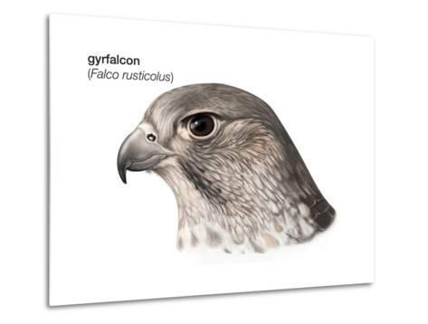 Head of Gyrfalcon (Falco Rusticolus), Birds-Encyclopaedia Britannica-Metal Print