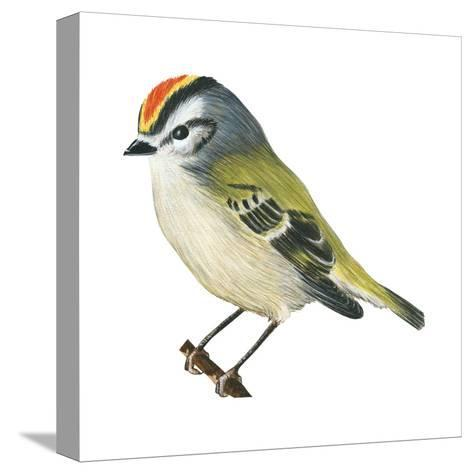 Golden-Crowned Kinglet (Regulus Satrapa), Birds-Encyclopaedia Britannica-Stretched Canvas Print