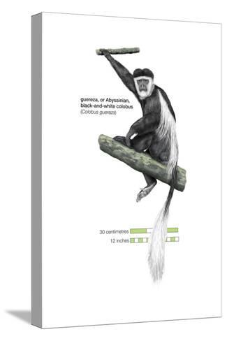 Guereza or Abyssinian, Black-And-White Colobus (Colobus Guereza), Monkey, Mammals-Encyclopaedia Britannica-Stretched Canvas Print