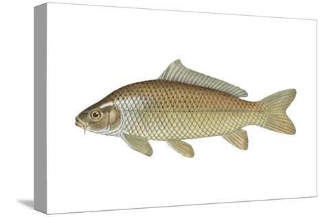 Carp (Cyprinus Carpio), Fishes-Encyclopaedia Britannica-Stretched Canvas Print